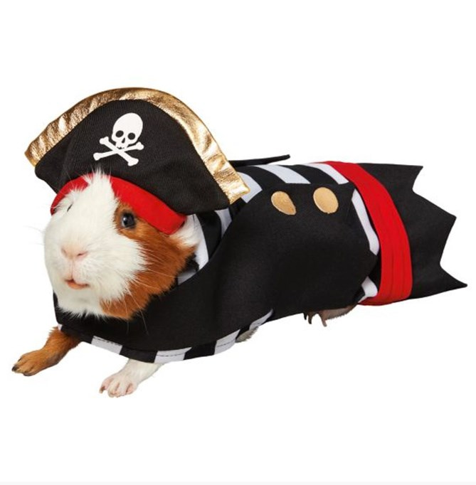 adorable guinea pigs in halloween costumes