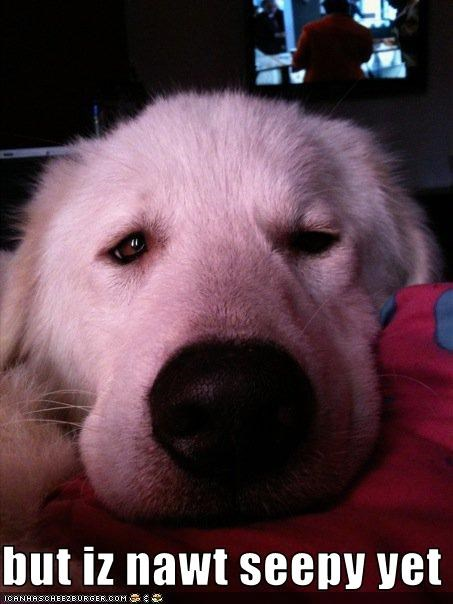 close up eyes golden retriever Hall of Fame sleep tired - 3643730944