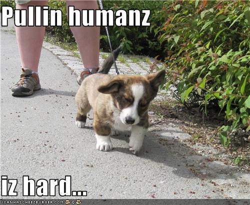 corgi,Hall of Fame,human,leash,pull,puppy,walk