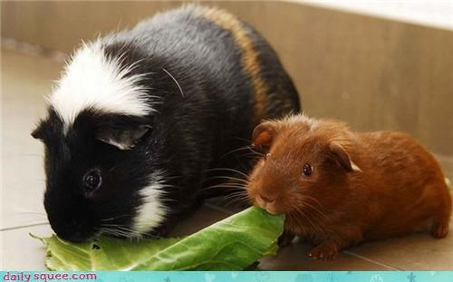 guinea pig,momma,noms