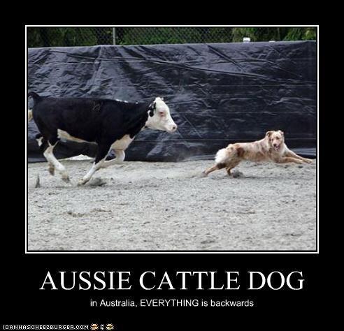 AUSSIE CATTLE DOG in Australia, EVERYTHING is backwards
