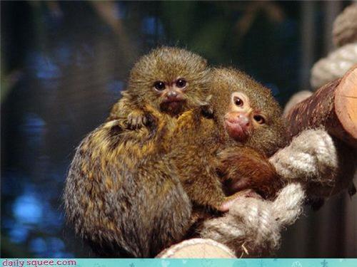 baby marmoset trufax - 3651312896