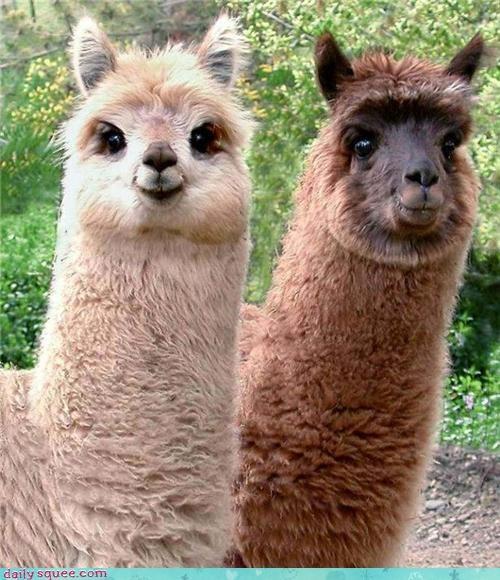 dem cheeks,face,llama