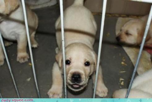 cute Labraday puppy - 3659226880