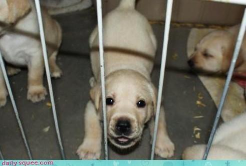cute Labraday puppy - 3659226880