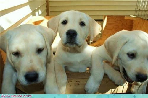 lab Labraday puppy - 3659228928