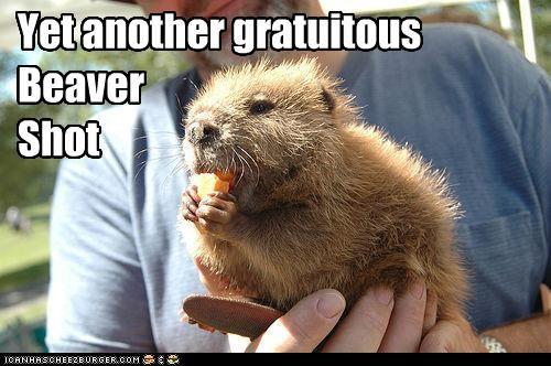 beaver cute lolbeavers - 3659691008