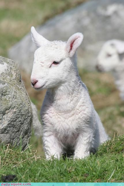 cute,lamb,puns