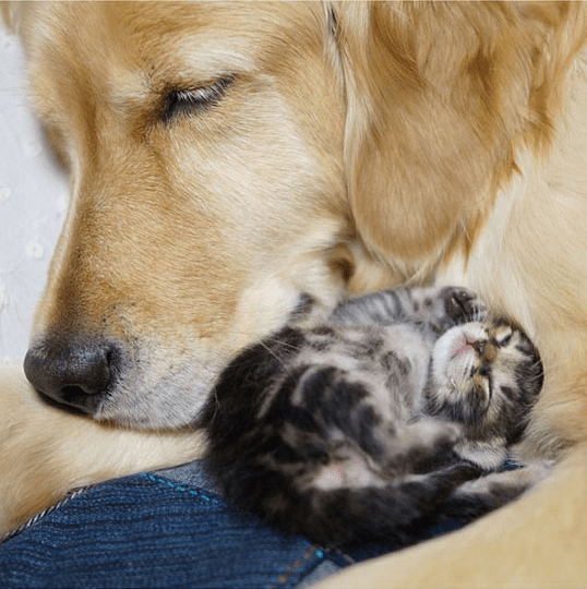 Golden retriever adopted a kitten
