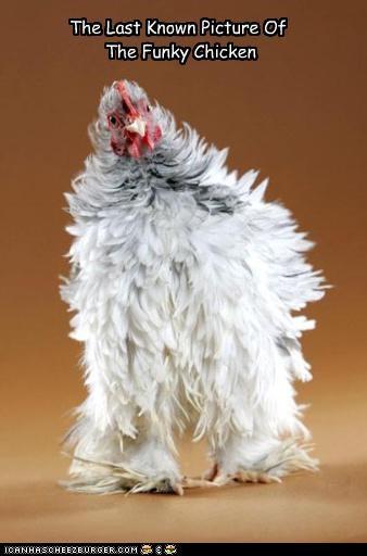 chicken funky lolbirds lolchickens - 3662656768