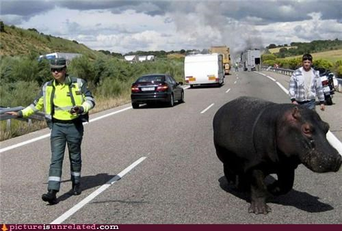 animals cars hippo police roads society wtf
