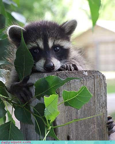 boopable cute raccoon - 3668147712