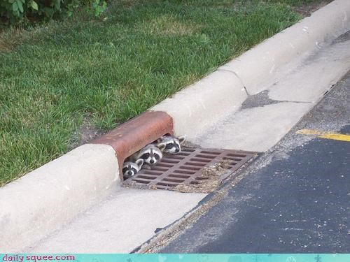 ohana,raccoon,squee spree