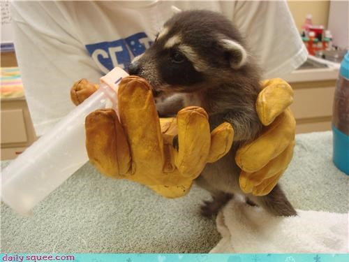 boopable raccoon squee spree - 3669132544
