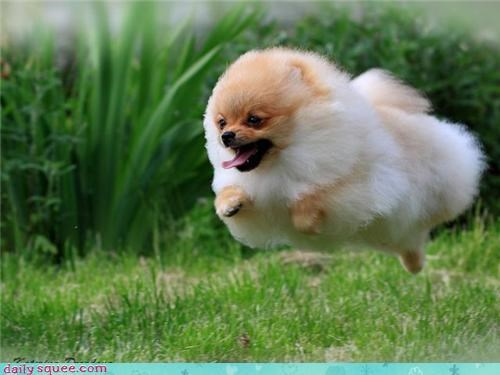 cute Fluffy pomeranian - 3671759616