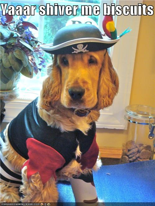 costume,Pirate,spaniel mix
