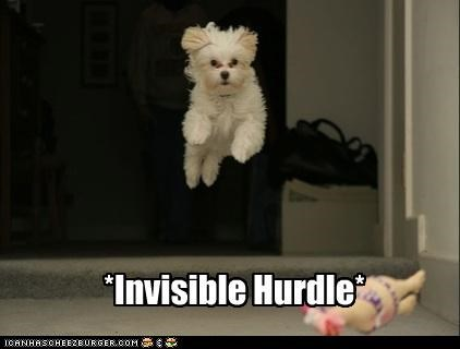 bichon frise,hurdle,invisible,jump