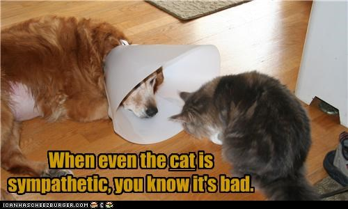 cat,cone of shame,golden retriever,sadness,sympathy