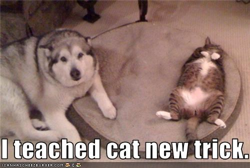 bed,belly,husky,lolcat