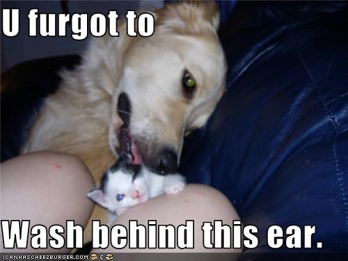 ear,golden retriever,Hall of Fame,lick,lolcat