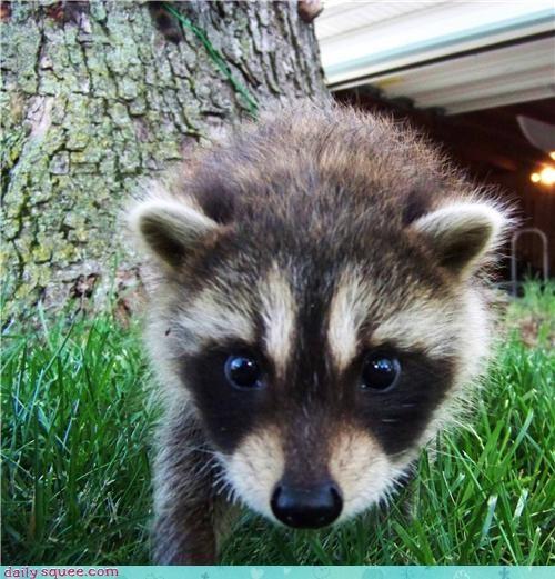 boopable face raccoon