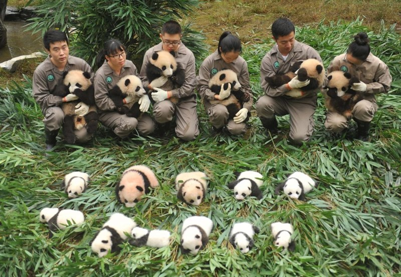 Big panda bears family born in Chinese Zoo