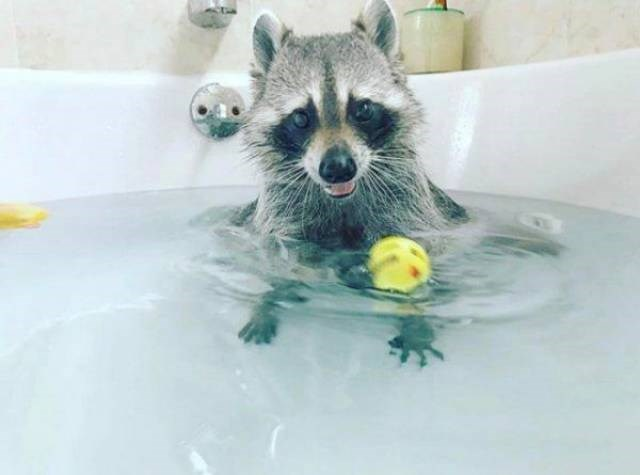 cute raccoon pictures