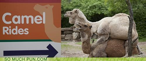 animals camels puns rides sex zoo - 3700482560