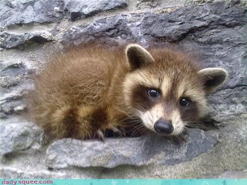 baby raccoon squee spree - 3702083584