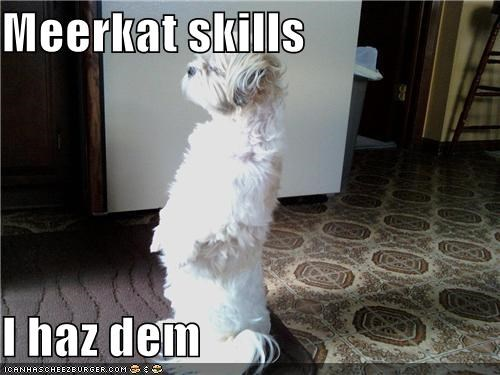 haz them,meerkat,mixed breed,skills,standing,terrier