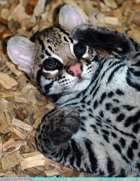 kitten ocelot paws - 3706630912