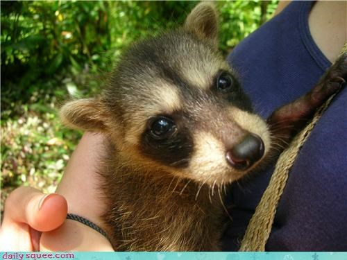 boopable face raccoon - 3711085568