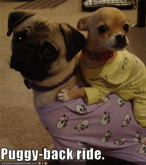 chihuahua,cute,Hall of Fame,pajamas,piggy back,pug,silly