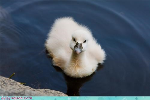 duckling Fluffy Fluffy Friday - 3716895488