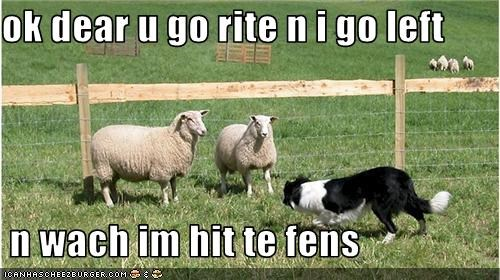 border collie herding prank sheep - 3718209792