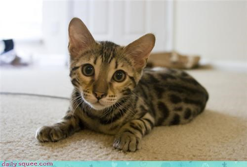 bengal cats kitten squee spree - 3719587840