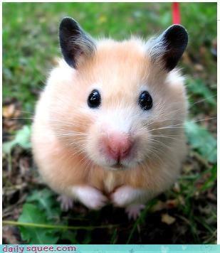 cute Fluffy hamster - 3722668544