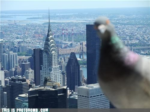 Animal Bomb,animal bombs,animals,Chrysler Building,pigeon