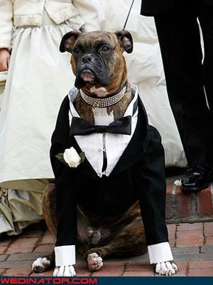 best man,Bling,custom tuxedo,dogs,dog collar,fashion is my passion,funny dog picture,mans-best-friend,mans-best-man,tuxedo dog