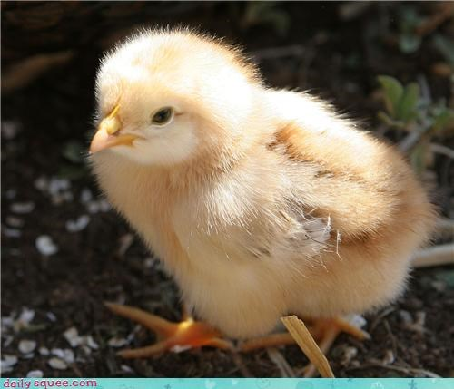baby chick peep - 3724710400