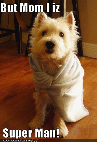 blanket,cape,costume,hero,superman,west highland terrier