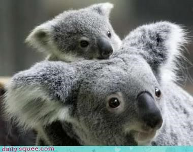 koala nerd jokes squee spree - 3727241984