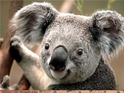 Fluffy Friday koala squee spree - 3729584384