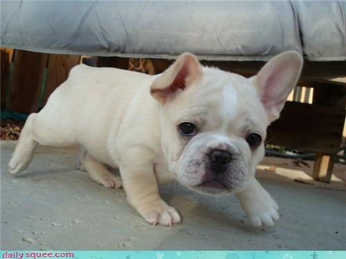 dogs face french bulldogs - 3730571520