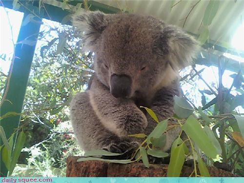 Day of Rest,koala,squee spree