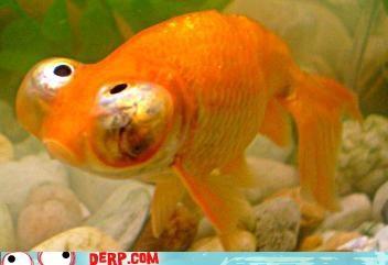 bubble eye critters fish goldfish - 3731931648