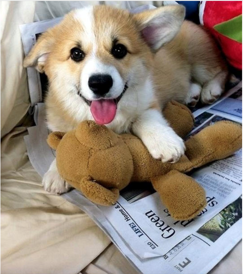 adorable photo of corgis