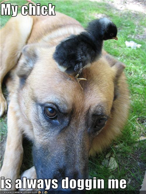 chick,german shepherd,head,outside