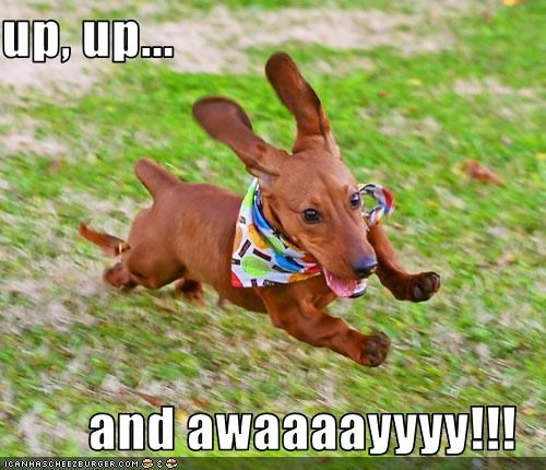 cute dachshund flying liftoff running up up and away - 3743993088