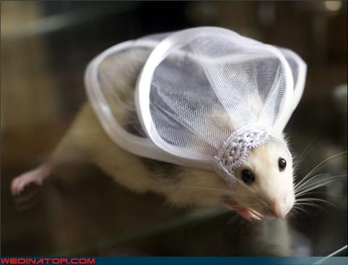 bride,eww,fashion is my passion,funny wedding photos,mouse bride,mouse dressed as a bride,mouse wearing veil,of mice and marriage,surprise,weird bride picture,whiskers,wtf,wtf is this